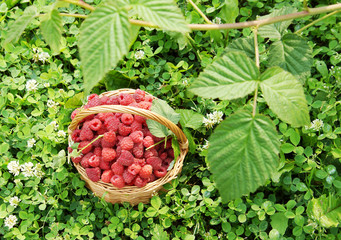 Wicker basket full of ripe red raspberry on the grass