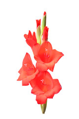 Flower gladiolus