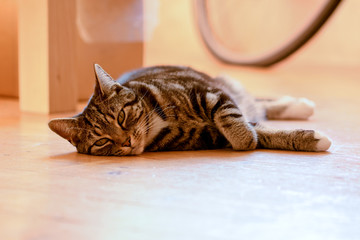 Tabby cat laying on floor