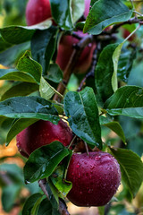 juicy apples on branch with green leaves