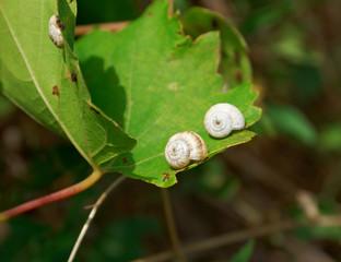 Snails [helix pomatia]