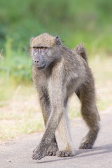 Baboon walking along a road looking for trouble