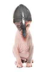 Sphynx Kitten wearing a norseman helmet studio cutout