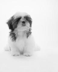シーズー 室内犬