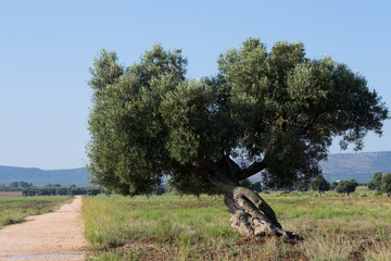 olive tree near a dirt road in the countryside