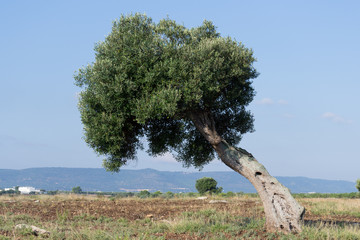 olive tree on a vacant lot