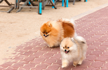 Two White-Brown pomeranian puppy dogs