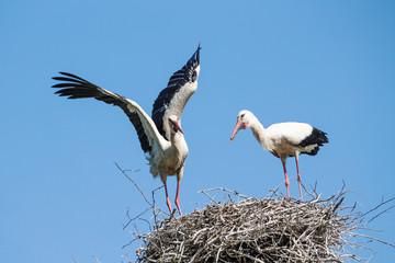 Storks on the nest