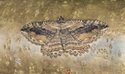 Dark umber, Philereme transversata camouflaged on wood