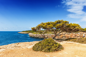 Old pine tree overlooking the bay of Cala Pi