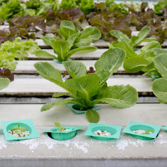Organic hydroponic vegetable garden in Thailand merket