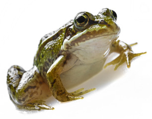 rana esculenta - common european green frog