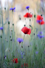 Wild flower meadow with poppies and Cornflowers
