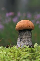 Leccinum aurantiacum mushrooms