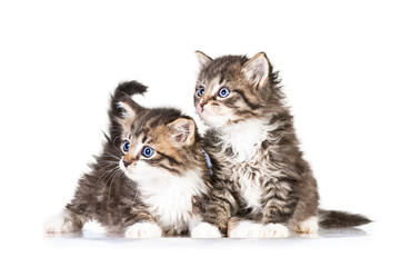 Two little tabby kittens