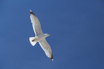 Mouette volant dans le ciel