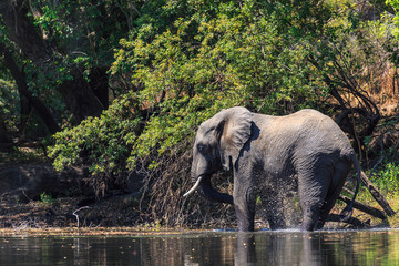 Young elephant dring water in a river