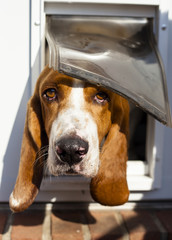 Shy Basset hound peeking out of doggy door