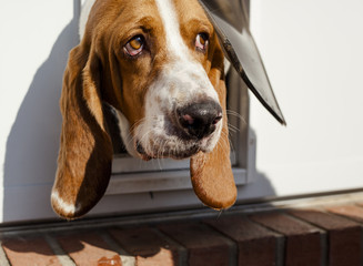 Curious Basset hound peering out of doggy door
