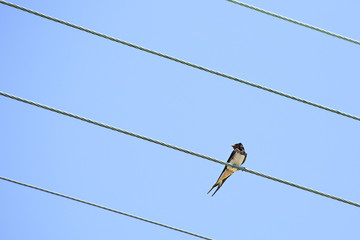 Swallow sitting on wires.