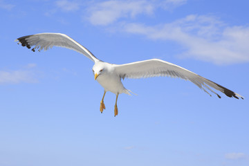 Yellow-legged gull (Larus michahellis) in the sky.