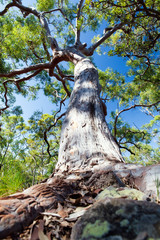 An another gum tree