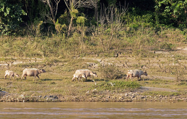 Grazing Cows On The Banks Of The Mekong