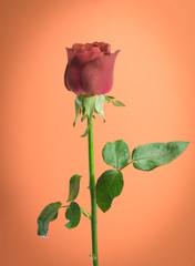vintage rose on orange background