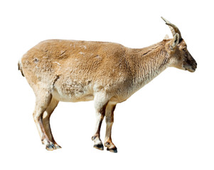 Standing barbary sheep over white background