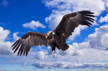 Flying black vulture  against  sky