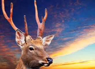 Sika deer against sunset sky