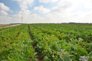 Crops growing on fertile farm land in Israel