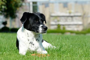 Schwarz weißer Hund