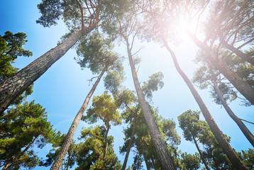 Pine trees under the sun