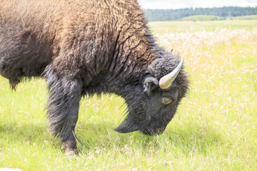 Close up of buffalo, Yellowstone National Park, Wyoming, USA
