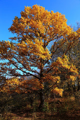 Beautiful oak tree in yellow autumn foliage.