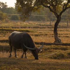 Mammal animal, Thai buffalo in grass field