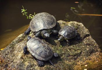 European pond turtles basking on the rock