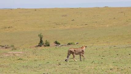 Cheetah goes in the tall grass. Savannah.
