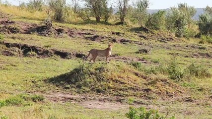 Cheetah standing on a hill and view the area