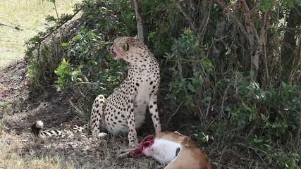 Cheetah sitting near killed a gazelle
