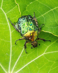 dewy rose chafer (cetonia aurata) on a  leaf