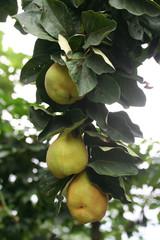 frutti di melo cotogno su ramo