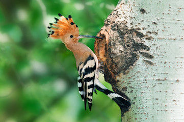 Hoopoe at nest hole at tree trunk with raised crown
