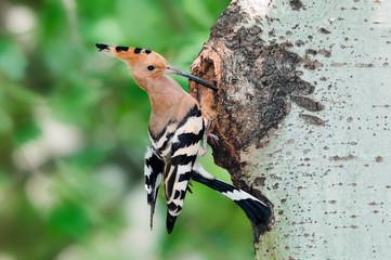 Hoopoe at nest hole at tree