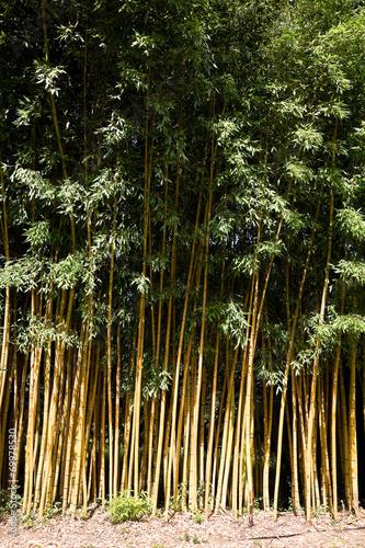 In de dag Bamboo Phyllostachys sulphurea viridis