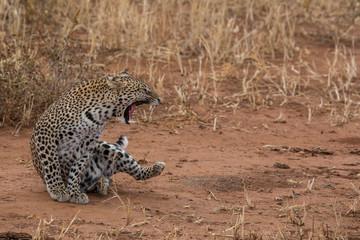Brüllender Leopard