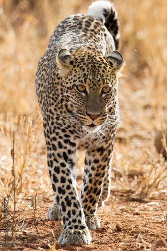 Fotobehang Luipaard Leopard in der Savanne