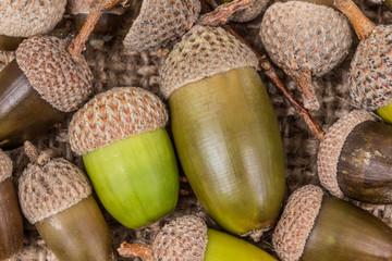 acorns as a background