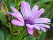 canvas print picture - Violet flower